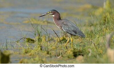 Green Heron along a shoreline
