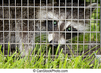 trapped raccoon - raccoon caught in a wire cage trap