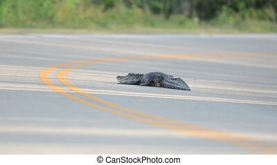 American Alligator on road - A large American Alligator is...