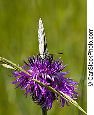 marbled white butterfly 2