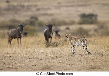 Cheetah with Wildebeests - Cheetah with wildebeests in the...