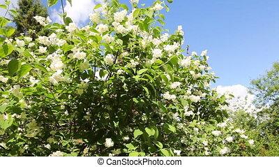 White jasmine. Dolly shot