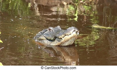 American Alligator popping its jaws - A large american...