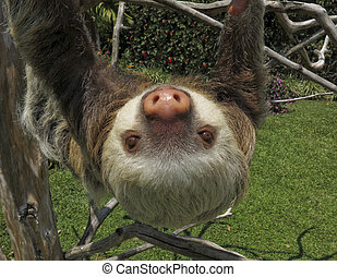 Two-Toed Sloth wondered close to town in Costa Rica, Central...