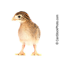 One Week Old Guinea Fowl Keet Face On