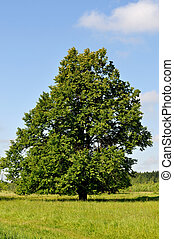 Solitary linden tree on the meadow