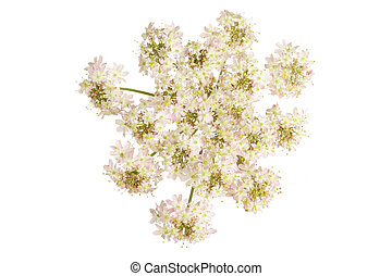 Cow parsley, also known as wild chervil, flower isolated...