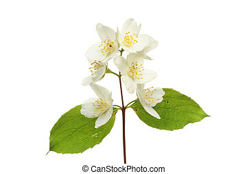 Philadelphus flower - Philadelphus , mock orange, flower and...
