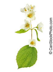 Mock orange - Philadelphus, mock orange, flowers and leaves...