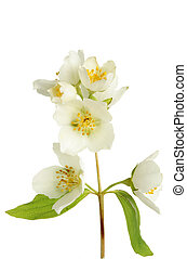 Philadelphus - Closeup of Philadelphus, mock orange, flowers...