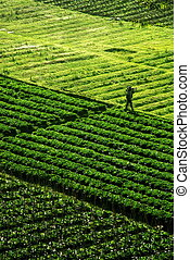 Green Field - Green Agriculture crop field pattern with a...