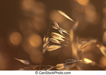 Backlit Grasses - Illuminated grasses near the village of...