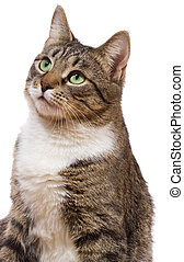 cat - european cat on a white background