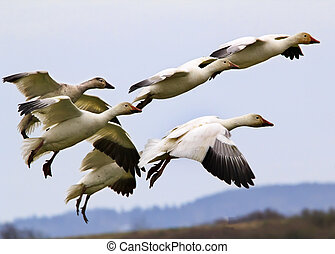 Snow Geese Flying Landing Skagit County Washington - Snow...
