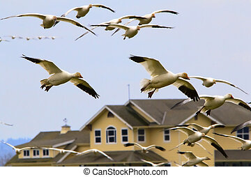Snow Geese Flying Over House Skagit County Washington - Snow...