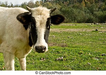 Young Cow Face In The Meadow