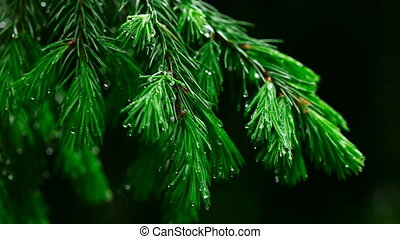 Wet spruce twig - Spruce needles and raindrops closeup