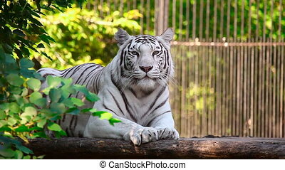 White tigress. - White tiger is resting.