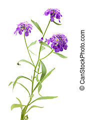 lavender flower with a stem on a white background