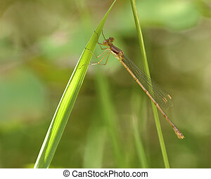 Damsel Fly - A damsel fly perched on a plant.