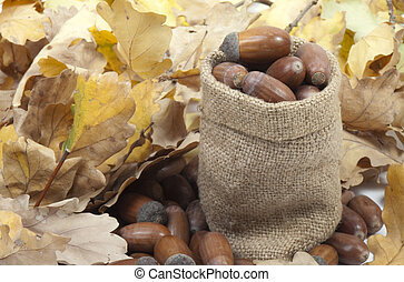 acorns mature in a pouch on the background of oak leaves