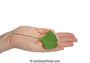 Hand with branch with leaves Ginkgo biloba