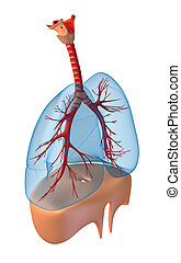 Lungs - pulmonary system. Rigth view, isolated on white