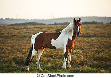 Close up of brown and white New Forest pony horse at sunrise...