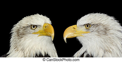 Twin portrait of bald eagles isolated on black - Twin...