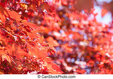 Red Maple Acer rubrum is one of the most common and...