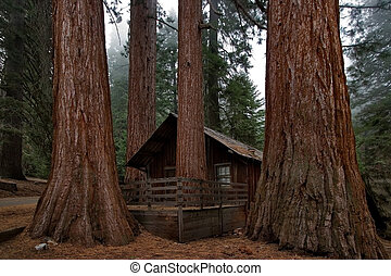 Round dance of giants - Small ranger's house in Sequoia Park...