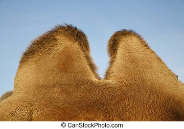 Humps of camel - Detail of a camel Useful for many concepts...