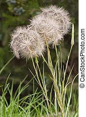 Fluffy family - Fluffy dandelions on a grass on washed...