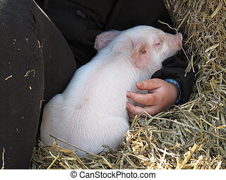 Cute piglet - Cute piggy taking comfort in the arms of a...