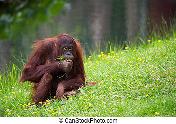 cute orangutan on the grass