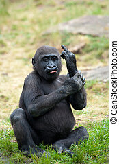 young gorilla sticking up its middle finger - Funny image of...