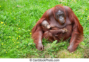 orangutan with her cute baby - Mother orangutan with her...