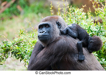 gorilla and her baby - close-up of a mother gorilla and her...