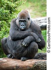 female silverback gorilla - close-up of a female silverback...
