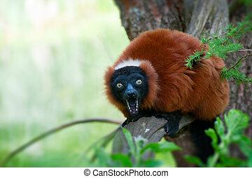 red ruffed lemur - a beautiful red ruffed lemur (Varecia...