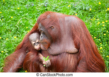 orangutan with her cute baby - Mother orangutan kisses her...