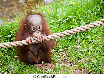 cute baby orangutan holding a rope in the grass