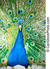 male indian peacock showing its feathers - beautiful male...