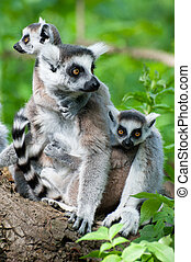 ring-tailed lemur with her cute babies - close-up of a...