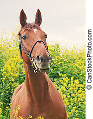 portrait of beautiful red horse around yellow flowers