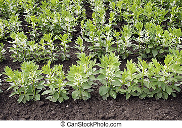 Broad bean plants - Agriculture background: cultivated field...