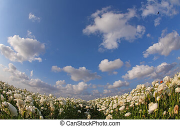 The field of blossoming white buttercups photographed by a...