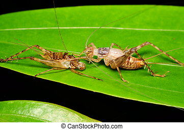 Cricket with its carcase - A cricket came out from its own...