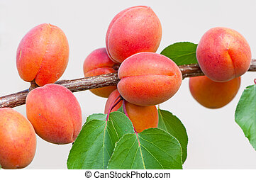 Apricots on tree during the day time.