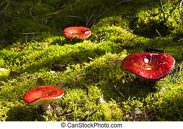 Toadstool in the forest grow in the moss among the bushes.
